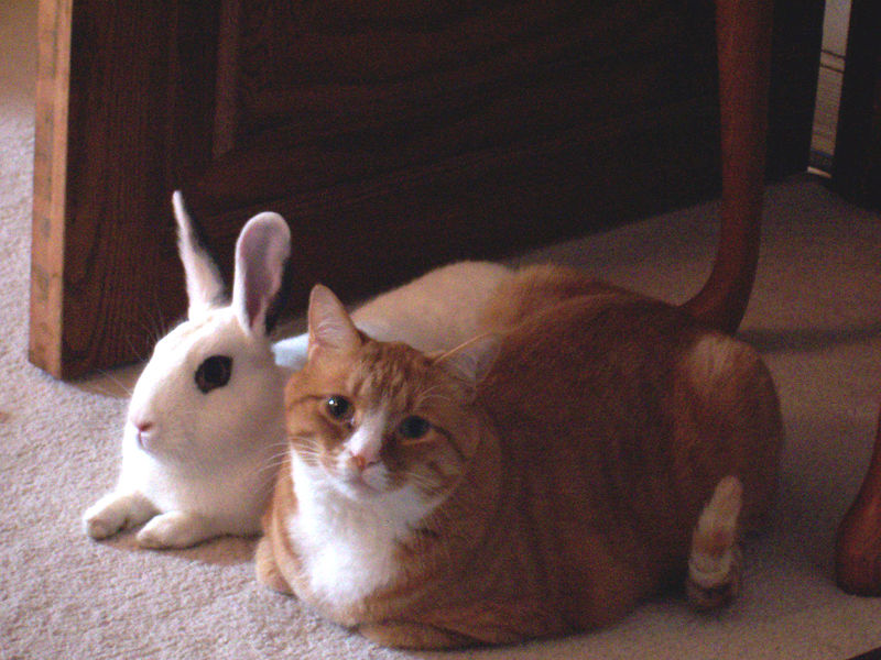 800px-Cat_and_rabbit_sitting_together